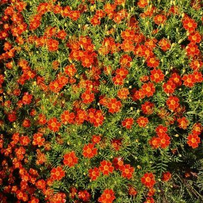 Bio-Speisetagetes -orange (Tagetes tenuifolia)