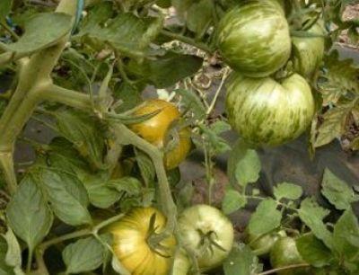 Bio-Tomate, grüngestreift, Green Zebra