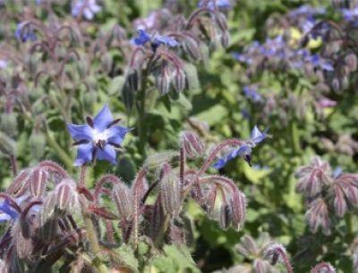Bio-Borretsch mit essbaren Blüten