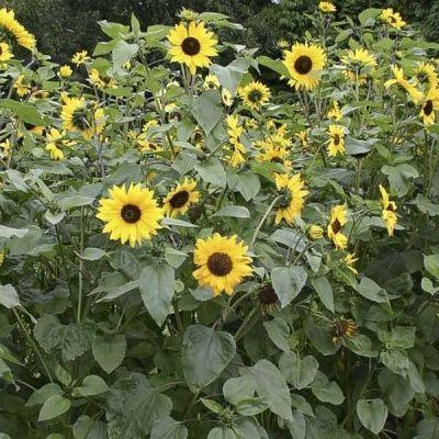 Bio-Sonnenblume, mittel
