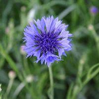 Bio-echte Kornblume (Centaurea Cyanus)